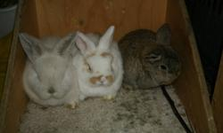 Three holland lop baby bunnies looking for homes of their own. Holland lops are the smallest of the lop breeds. I expect these kits to mature at 3.5 lbs. one male, two female. First picture: all three Second picture: frosted pearl girl (I think). $35