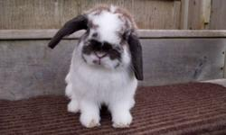 I need to downsize my rabbits.. All are purebred, pedigreed, and from good bloodlines. They make awesome pets and are litter trained. Please visit my website, go to the contact me page, and fill out the form.. I don`t usually get my e-mails from Kijiji.