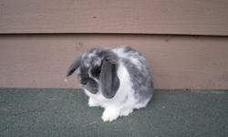 8 week old Holland Lop bunny rabbits.  Also known as the Dwarf Lop, these bunnies will be between 3-4 lbs when fully grown.  They have been handled since birth and have great personalities.  Please feel free to contact me with any questions.