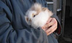 Hi, i have some nice holland lop babies just ready to go. Picture 1&2 are the same bunny,  i call it punky, cause of its really nice long hair. just ready to go. Picture 3 has lionheads and a holland lop in it. They are 2 1/2 months old. Picture 4 has 2
