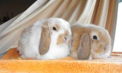 I have 2 litters of Holland lop bunnies ready to go. $30 or $40 with tatoo and pedigree. These are very friendly bunnies and some are show quality some are pet quality.Contact us for more info!