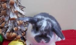 Adorable Holland Lop Bunnies ready to go to their new homes for Christmas!!  These cuties are now 6 weeks old, purebred, from champion stock and offered by breeder for loving pet homes.  Their ears are just starting to lop and they are oh so sweet.
