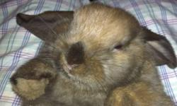 Holland Lop bunny 3 months old, brown & grey coloring, very nice. His name is Thumper and he is very friendly, litter trained and playful! He runs around the house and goes back to his cage when he needs to. His cage is a dog crate which he loves cause he