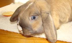 Charlie is a male Holland Lop.  He was born June 1, 2011.  He is handled lots and has a gentle nature.  We have a Birth Certificate and breeder information.