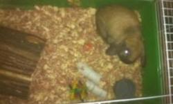 I have a male holland lop rabbit for sale.  His name is Chance and he is one year old next month.  Excellent bunny for kids he just has too go as we have bought a new puppy for our boy as he is allergic too the rabbit.  I am selling rabbit with the large