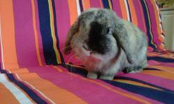 I am moving to Calgary at the end of the month so I need to sell my 2 year old Holland Lop bunny. He was born on November 9th 2009 and he is orange and black, which are very rare colors. He weighs about 3 lbs and he is very friendly and loves people. I am