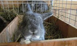 Purebred Holland Lop Rabbits We have one male grey rabbit  for sale.  Purebred papers available upon request.  They are ready now for pickup.  Please call or email to make an appointment to pick one out.  Call after school or weekends.  613-924-2999.