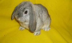 two purebred holland lop bunnies for sale. Holland lops are the smallest of the lop breeds. They are well known for their excellent personalities and people friendly attitudes. first is a sable chinchilla. second is a broken sable. Both are very friendly