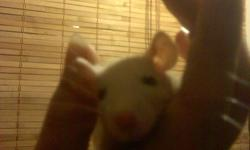 Rats From large to small For sell or live feed !! Must go !!   They are all handle everyday by my children and loves the attention we are breeding the rats for our snakes as well as selling some of them for Pets Now if your intersted on getting a rat im