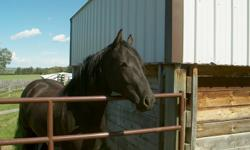 We have a great three year old paint gelding who is more like a dog than a horse.He is not broke but is great to halter and do his feet. My husband put a saddle on him a few days ago and he never made any move to buck or try and get rid of it so I think