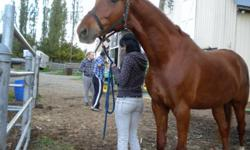 Description Hi there, I have a 16'2 hh American Saddlebred who goes by the name of Hunter. He is around 8 years old and he is registered. Before I got him he had $10,000 worth of training into him and since then I have continued with his training, and he