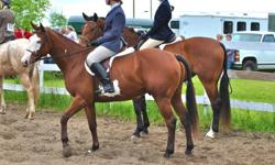 Looking for an intermediate or experienced rider to continue advancing ROCKY?s considerable experience. He is an adorable 6 year old 15.4 paint gelding with lots of show experience, a lovely smooth canter and great jumping abilities. Rides Western or