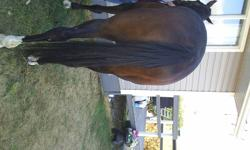 Dark Bay (or black) horse named Megaomega, born Feb 1st 2006 (by OmegaCode out of Merci by Williamstown). He stands just short of 17 hands , has 4 white socks and is very muscular. He is well mannered, very athletic and should make a great jumping horse.