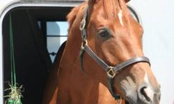 """Indy is a very loved horse and is looking for a new home or someone to lease him.   Eight year old thoroughbred chestnut gelding horse for sale or lease. Owner is going to school and can't afford. """"Indy"""" (Foxmandu) has several desirable qualities. He is"""