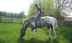 I know all you kids want this horse....but please just get your parents to answer this ad. Unique and senseable 7 yr old double registered  (foundation Stallion) Less then 1/2 price. July Issue Featured Stallion  in the International Spotted horse