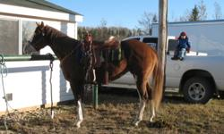 Horses for Sale - Reg Paints, QH, Percheron/QH cross.  Prices range from $1750 to $5000.   Professionally trained. Quiet dispositions.  Very loving.  Paints - SHILO, SHEP, REBEL Quarterhorse - CAYLA Percheron/QH - CADEY Excellent breeding.    Email for