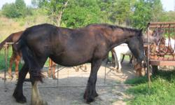 Nice variety of horses for sale, about 20 to choose from. Paints pintos clydes and crosses available. (no papers) 1 clyde stud available 15 yrs old w / papers. Ages range from weinling to 15 yrs old. All friendly and mild tempered but not broke.Priced to