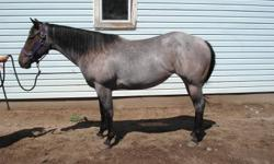 Three year old, un reg blue roan mare with 40 rides.Would make a perfect project barrel horse. Starting to do lead changes and has amazing stops. Very light, and fast learner. Been rode up the trail couple times and is very quiet and easy going. If you