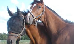3 Lovely Ladies & 1 Handsome Gent - FS/PB - PRICES REDUCED FOR QUICK SALE - Try an offer. Roxie 4 yr old will finish 16.1+ hh chestnut mare with lots of CHROME. Lightly started, going w/t/c, poles. Green, but very easy and QUIET!! Soft mouth and eager to