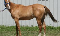 Same mother, different dads. Willing to sell both together with western saddle (wintec FQHB), saddle pad, girth, bitless bridal and a pony bridal. Gold Bar Docs Doll is the mom. The Palis dad is Cheyennes Doc Bar and the dun is Tru Class. Will also toss