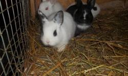 We have 5 Hotot Bunnies for sale, we are asking $15 each. They would be a wonderful addition to your family, Or it would be a great present for your children as well , they will also learn a lot of responsibility. or if you just want a bunny for yourself
