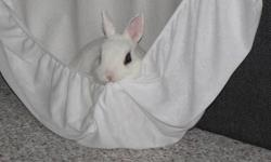 """Approx. 3 years old, adorable Hotot (pure white with black eyes) rabbit """"Harley"""" comes with litter box, house, toys, harness, food, hay and 3 foot by 2 foot dog kennel/cage. He's always been kept inside, loves people and being petted but not picked up and"""