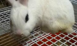 Hello, I'm selling a male hotot white bunny because I can no longer keep him. Hotot rabbits are really calm when you hold them, and have gorgeous eyes. He loves to be petted. He's calm in general but loves to explore a bit and comes to you all the time.
