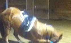 Grasshopper. Very pretty gelding, will need a gentle hand. 15.1/15.2 hh, 5 yo. Green broke walk/trot/canter, steady paces. Tries very hard to please. Started over cross poles and free jumped to 2?6?. Started his lateral. Is not a horse to be left inside