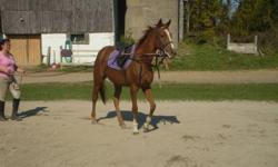 Aaleyah is a beautiful, 4yr old, TB mare standing at 16hh. She is a very pretty girl with gorgeous movement. She is currently going w/t/c under saddle and is doing well. Leyah has great potential for hunter/jumper with continued training and would