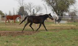 """Revelations or """"Remiel"""" is a 2009 Dutch Warmblood x Thoroughbred gelding. He is by registered Thoroughbred stallion Harvest Moon(Absolute) out of RPSI main marebook approved Dutch Warmblood Alley Cat(Alla' Czar). Remiel was recently sticked at 15.3 and a"""
