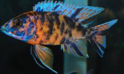 Will consider trade before cash. $25 for 4 fish, if you want to buy only. ***NEW PRICE 4 For $20*** Looking to trade some of my hybrid a1bino red coral dragonblood cross mixed with OB peacock sub adults..... Sizes are 2-3 inches. These group has some