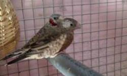 I am selling a beautiful pair of Cut throat Finches. They are 1 yr. old Healthy and complete feathers. They are ready to breed