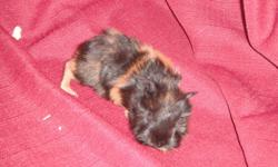 """Hi there, we here at Murphy's guineas have successfully managed to scale down our program, and have only 2 pups left to sell to good loving homes. 1 male 10 week old pup, """"Murphy"""" (pic 2). he is a beautiful short haired english pig with a great sweet"""