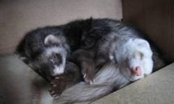 i got 3 ferrets for sale out of my 5. they are all young. 2 yrs old. maybe less. i have had them for a year. i thought i would be their last home but i just cant let them run no more.. i dont want to get rid of them, because i love them lots. i know it