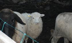 icelandic ewe lamb very healthy great looking wool 175$   Ask for Del 247-5214