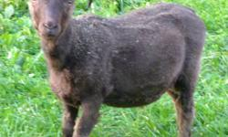 Icelandic ram lamb for sale. Born June 2011. Healthy, good conformation, nice personality. Excellent fleece, pure moorit (brown), a rare colour, since it is a recessive gene. Can be registered as purebred.