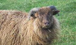 Several purebred Icelandic ram lambs for sale or trade to renew bloodlines.
