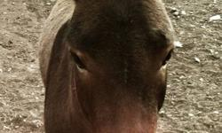 We are unsure of Idaho's age, but he is a jack mule. Idaho is not a donkey because he has shorter ears and has the horse tail. Not halter broke. Companion only. Great personality, could be good to kick out with sheep as he does not like my dad's dog at