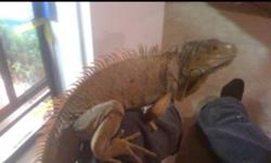 hi. I am selling my male green iguana or (iguana iguana)....... (ENCLOSURE NOT INCLUIDED) he is very tame and about 4 ft long snout to tail, he likes to be out of the cage and roaming around, ive been training him on freeroaming and have him so he goes to
