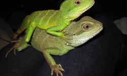2 - 1/2 year old female Iguana with tank and accessories. Two water dragons also available. Females, one is 3 years old and one is 2 years old. Tank and accessories also available for the water dragons. Must have experience with reptiles. The only reason