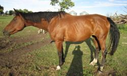 Pebbles is a 1997 17.2hh Imported Dutch Warmblood Mare... You can view this mare's pedigree on CLRC including her progeny: