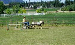 A.M.H.A REGISTERED MINIATURE HORSE, 34'', SIX YEAR OLD GELDING.  SHOWN, ARENA DRIVING TRIALS,[dressage, cones, obstacles],  DRIVING GATHERINGS, A PLEASURE TO BE WITH,  VERY SWEET GUY, EASY, FUN, LOVES ATTENTION AND TO DRIVE.