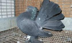 Indian Fantails for sale at 40 dollars each. Home: 4034548748 Cell: 4038189812
