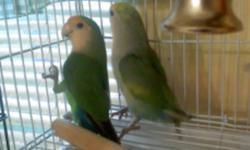 J'ai 3 inseparables a vendre ou a echanger contre un oiseau plus gros  apprivoisé  et  pas trop criard      1 petit male   environ  7 mois et 2  femelle de 7 mois TOUTES OFFRES RAISSONNABLE ACCEPTER  j aimerais les echanger ou les vendre 200$ les 3