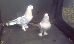 good quality iraqi birds for sale.   if interested call, these are special rare birds nothing like the others that sells for 20 dollars on here!!! These are all the birds i haveand have a few more that i do not have picutres of yet! so i am not selling my