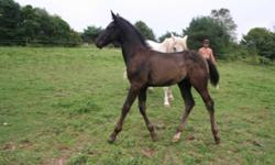 Irish Sport horse colt out of a registered irish draught mare who has produced some top notch horses down in the States. Sire is GF Fast N Fancy (Dennis) a tb stallion known for producing babies with bomb proof minds that love to jump. This colt is