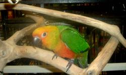 This wonderful baby Jenday Conure is ready to go to a good home It has been hand fed by us, socialized, and weaned to a pelleted diet. It loves eating fruits and vegetables and loves to ride on your shoulder. Come on in and see it at THE URBAN ZOO 620