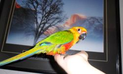 I currently have Jenday baby conures that are handfed and tame and are ready for their new homes. They are currently on Zupreem fruit blend pellets, as well as various wetfoods, veggies, fruit, etc. They love to be handled and are well socialized. I would