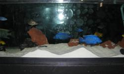 Jumbo Electric Blue Cichlid. Very healthy and with marvellous coloration.   About 5.5 inches. $40 each.