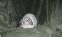 3 Month old frosty holland lop buck to give away must go getting rid of breeding stock Sorry no cage included Serious inquires only please Real nice buck great for 4h Phone or e-mail Hailey @ 697 2696